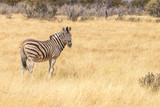 Zebra ( Equus Burchelli) looking towards the camera, Etosha National Park, Namibia. © Gunter