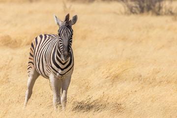 Zebra ( Equus Burchelli) looking towards the camera, Etosha National Park, Namibia.