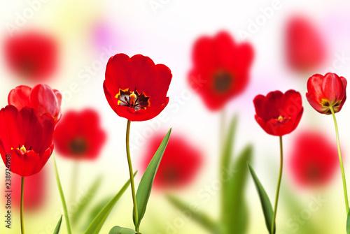 Czerwoni tulipany na łące w wiośnie.