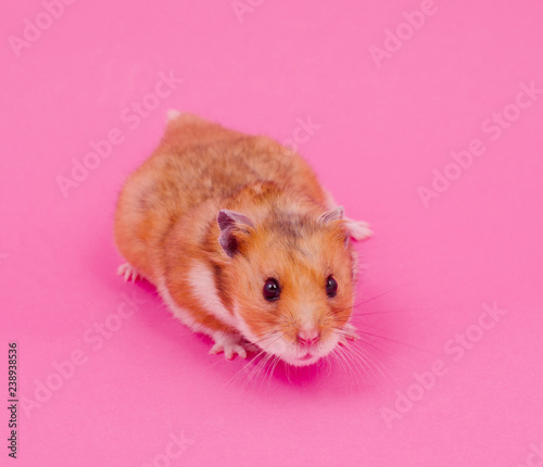 Cute funny Syrian hamster on a pastel pink background - 238938536