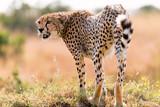 A Cheetah (Acinonyx jubatus) Stands On Mound, Maasai Mara, Kenya