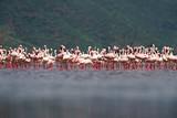 Lesser Flamingos (Phoeniconaias minor) standing in Lake Bogoria National Park, Kenya
