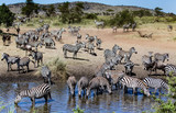 herd of zebras near and in drinking hole
