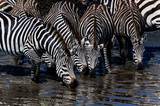 4 zebras drinking from lake in Africa © Michelle Silke