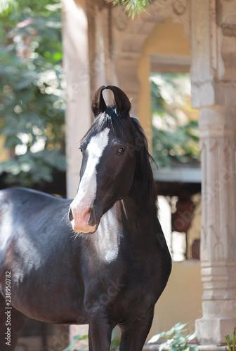 black marwari mare in the yard
