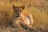 Lion cub (panthera leo) resting in dry grass, Maasai Mara, Kenya