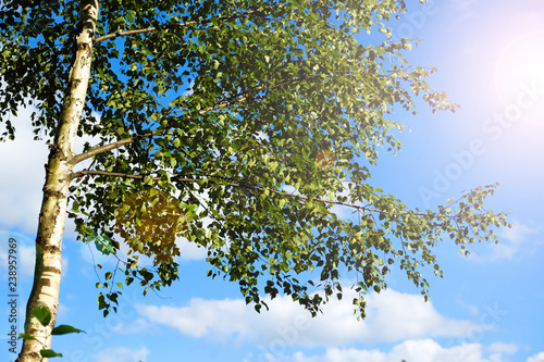 Birch grove in the morning, the sun through the trees, a horizontal composition. Blue sky. Birch branches against the sky. - 238957969