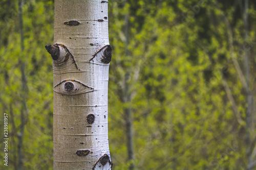 Aspen Trees Maroon Bells Colorado - 238981957