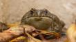 bull frog amonst autum leaves