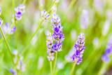 Lavender flower on a wild meadow