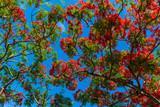 fleur de flamboyant sous le ciel bleu - 239027568