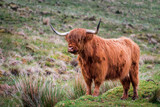 Scottish Highland Cattle bull with big horns stands in green grasslands in Scottish Highlands, Scotland, Great Britain