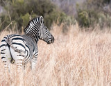 Zebra Looking Into the Distance