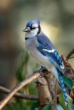 Blue Jay - 239090197
