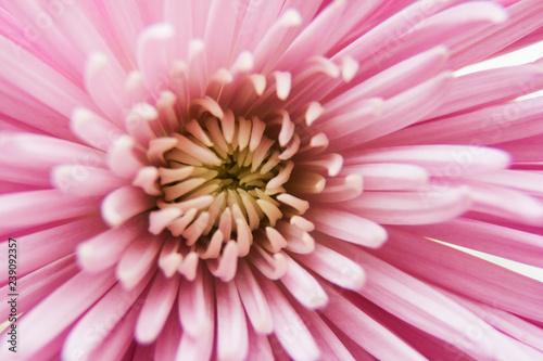 center of a pink chrysanthemum flower - 239092357