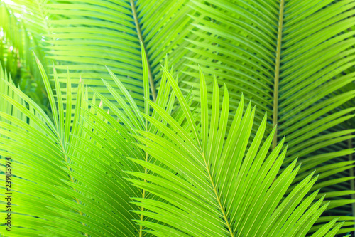 Green leaves of palm - 239103974