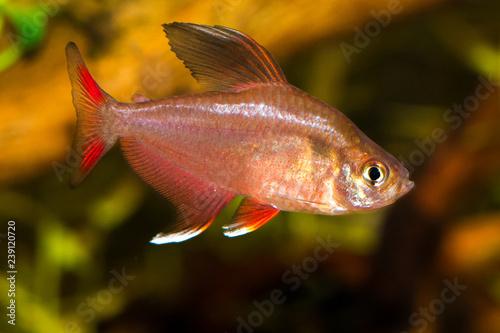 Small Aquarium Fish Hyphessobrycon Bentosi Fresh Water Aquarium