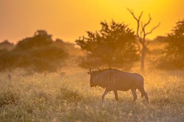 Savanna Orange morning light with wildebeest on S100 Kruger