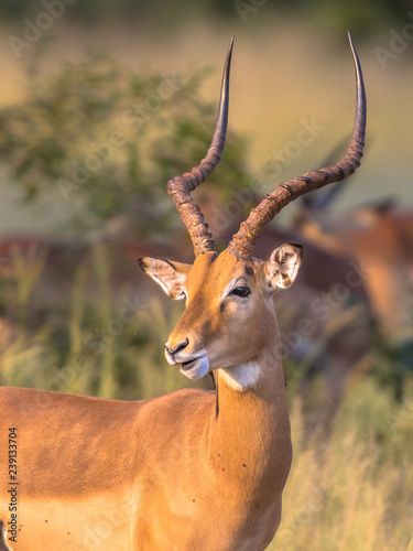Impala male with antlers