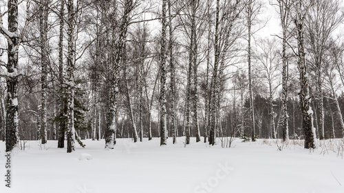 Snow-covered birch on the edge of a grove - 239140397
