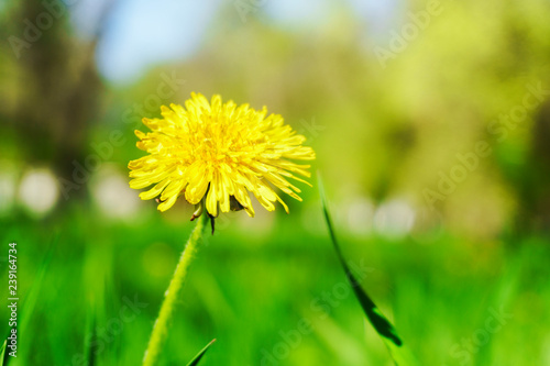 Dandelion grass natural herb background texture. Lawn garden with beauty bokeh. - 239164734