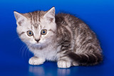 Gray striped kitty british cat on a blue background