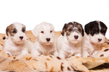Several terrier puppies in a blanket (isolated on white) © Dixi_