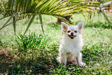 long-haired Chihuahua sits under a palm tree, hiding from the sun on a hot summer day