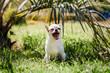 cute dog Chihuahua yawns