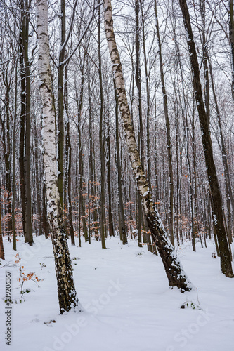 birch trees among winter beech forest. lovely nature background.