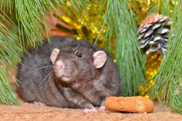 Rat chews cookies on New year © andwill