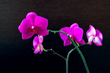 Pink phalaenopsis orchid flower on a dark background close up