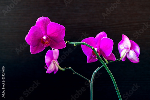 Pink phalaenopsis orchid flower on a dark background close up - 239240149
