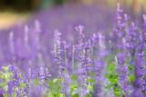 lavender flower. flower garden. Soft focus