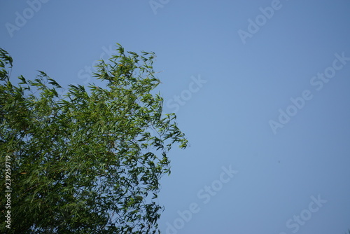 Bamboo leaves on the blue sky.