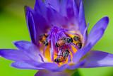 Bees flying in the purple lotus blooming.