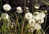 Dandelion season