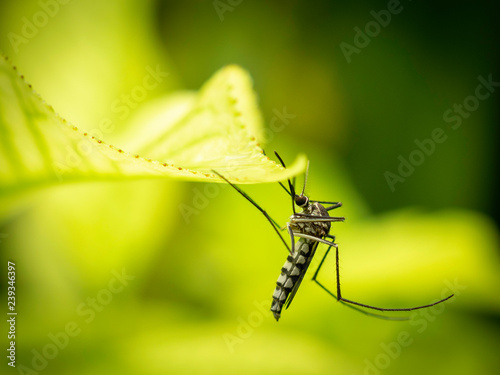 Close up of Aedes Aegypti Mosquito resting on the leaf in garden. Aedes is a genus of mosquitoes transmit serious diseases, including dengue fever, yellow fever, the Zika virus and chikungunya. - 239346397