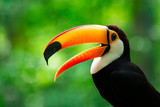 Portrait of Toucan Toco With Open Beak - 239349966