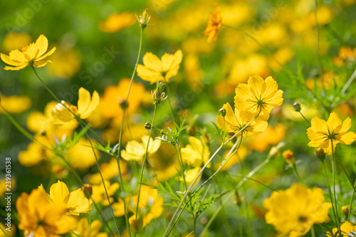 Yellow cosmos flowers Background - 239361538