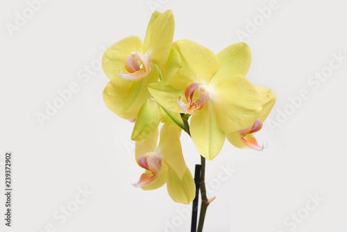 Yellow orchid phalaenopsis blossom close up