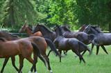 Fototapeta Horses - konie na wybiegu w janowie podlaskim © marsad