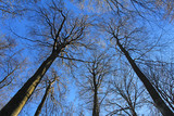 Beech tree forest, view from below, towards the blue sky - 239390585