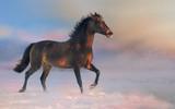 Brown Akhalteke horse run on the snow in winter evening - 239392141