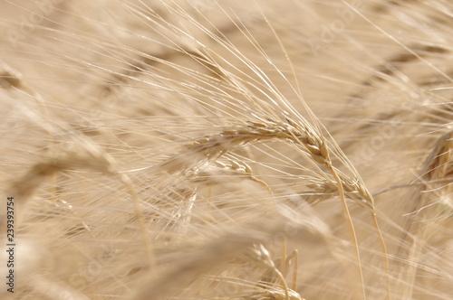 Gerste im Feld