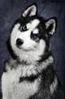 Portrait of shy blue eyed siberian husky dog on black background