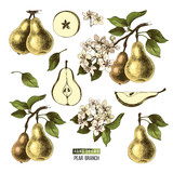 Hand drawn set of pears - 239450386