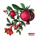 Hand drawn pomegranate branch - 239451706
