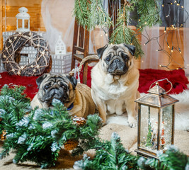 two dogs of breed a pug and a green branch with © tvetchinina