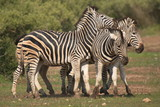Three zebras in Kruger National park in South African Republic in Africa